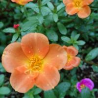 4色植えたけど、オレンジが1番可愛いな。