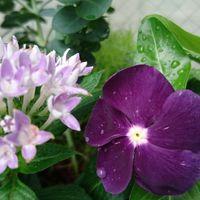 紫系の寄せ植え。