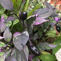 斑入り葉トウガラシ🌶  紫の斑入り葉が美...