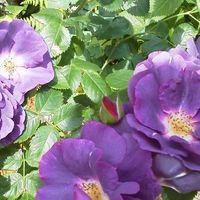 ラプソディ・イン・ブルー 薔薇です。