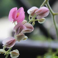 アサヒカズラはピンクがきれいです。今...
