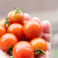 ミニトマト、たくさん収穫できました