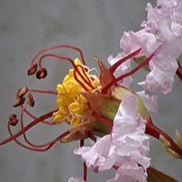 サルスベリ(白)鉢植