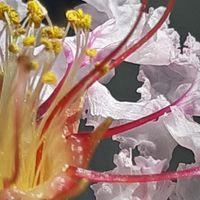 サルスベリ(白) 鉢植えで1房の開花  ...