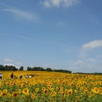 ひまわり畑、青い空、飛行機雲 本当に絵...