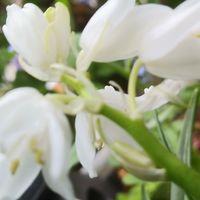 白い球根ツリガネソウ。  秋に植えてカ...