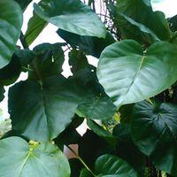 ウンベラータです。プラ鉢に植えていま...
