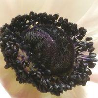 アネモネの黒芯が美しいです