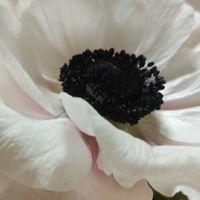 透き通るような花びらに芯黒 白いアネモネ