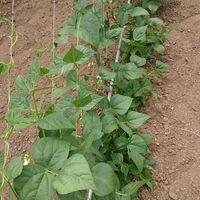 いんげん豆  順調に育ってます。