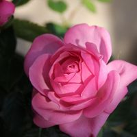 ミニバラ「コルダナ」 このピンク、可愛...
