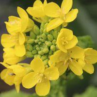 寒咲き菜の花。  昨秋、種から蒔いたも...