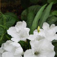 種からルエリア濃い緑の葉に 真っ白の花...