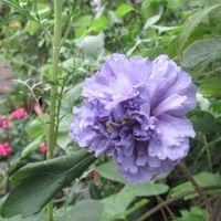 綺麗な色の紫玉