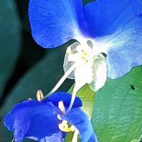 ツユクサ  紺色きれいです 蜂が!