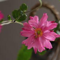 庭のシュウメイギクを花瓶に生けました