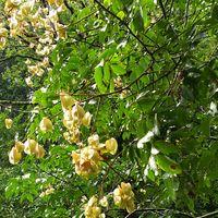 オオモクゲンジの実   9/3 花は小さい黄...