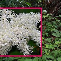 アカショウマ 真っ白な花が目立ちます ...