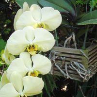 グリーン系の大輪胡蝶蘭です。 咲きはじ...