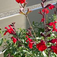 チェリーセージ🍒  # Salvia officinalis