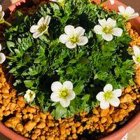 雲間草  # Saxifraga Mossy Group