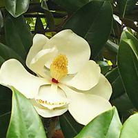 タイサンボク  良い香りがただよって➰😃