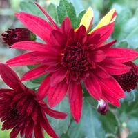 深紅の菊が、咲き始めました❣️😊 花びら...