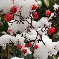 《去年から、初めての積雪》 南天の赤い...