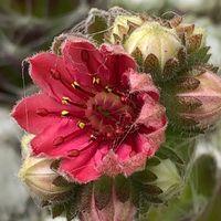 一つだけ開いた巻絹の花、アップで…。💕