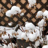 《去年から、初めての積雪》 山紫陽花は...