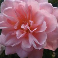 ピーチ姫  可愛いらしく咲いています🎵