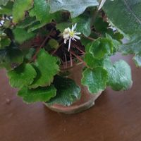 遅咲きの大文字草とヒトツバの寄植えで...