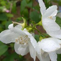 バイカウツギの八重咲き品種です。純白...