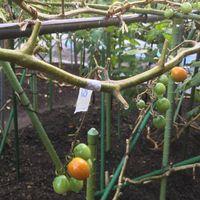 「とまとのループ仕立て 花房25段、収穫...