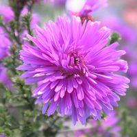 孔雀アスター、 うす紫が爽やかな~