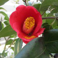 実生の薮椿 今年は花数が増えました。