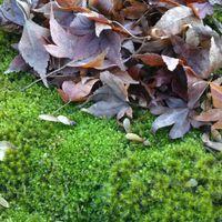 紅葉と苔🍁  苔の瑞々しい緑と枯れた紅葉...