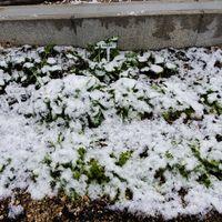 初めての積雪でお花たちが。。。ラナン...