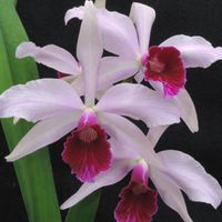 C.purpurata × sib  (carnea 'Escora'×f...