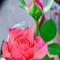 ミニバラお迎えから1日目 花開くのが早い!