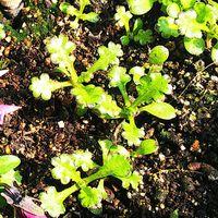 ネモフィラ、スノーストームのこぼれ種の芽