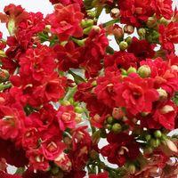 《八重咲きカランコエ》   日記掲載   🌱...