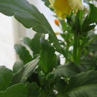 しばらく開花がストップしてた、ビオラ...
