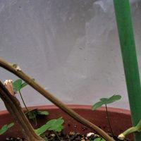 1月21日 庭に置いてある鉢植えパッシ...