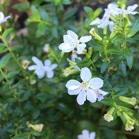 白小花 綺麗です