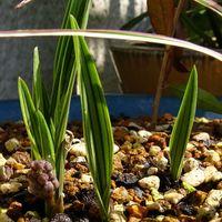 シマツルボの花芽。 フツーのツルボは葉...
