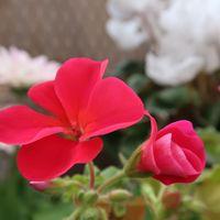 赤い花のゼラニウム