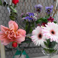 切り花まだ咲いてます ピンクのガーベラ...