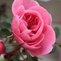 ミニバラ 鮮やかな濃いピンク 美しい✨✨✨