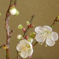 「白梅(切り花)開花」20210113 本日の天気...